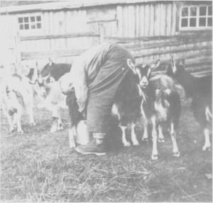 Gjetergutt Ivar Kirkvold (f. 1927) måtte lære seg til å mjølke geitene på Svartåvollen.