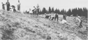 Skogplanting i 1951 på kommunens eiendom i Åsdal.