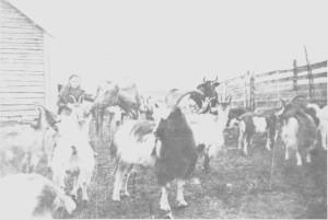 Ida Brandtfjell (f. 1895) er gjeterjente på en seter ved Stordal og har mange dyr å passe på. Geitholdet i Tydal økte etter 1900, og geitost var en viktig salgsvare.