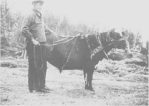Johan Henrik Kåsen med sin gode venn, kjøreoksen «Sudan».